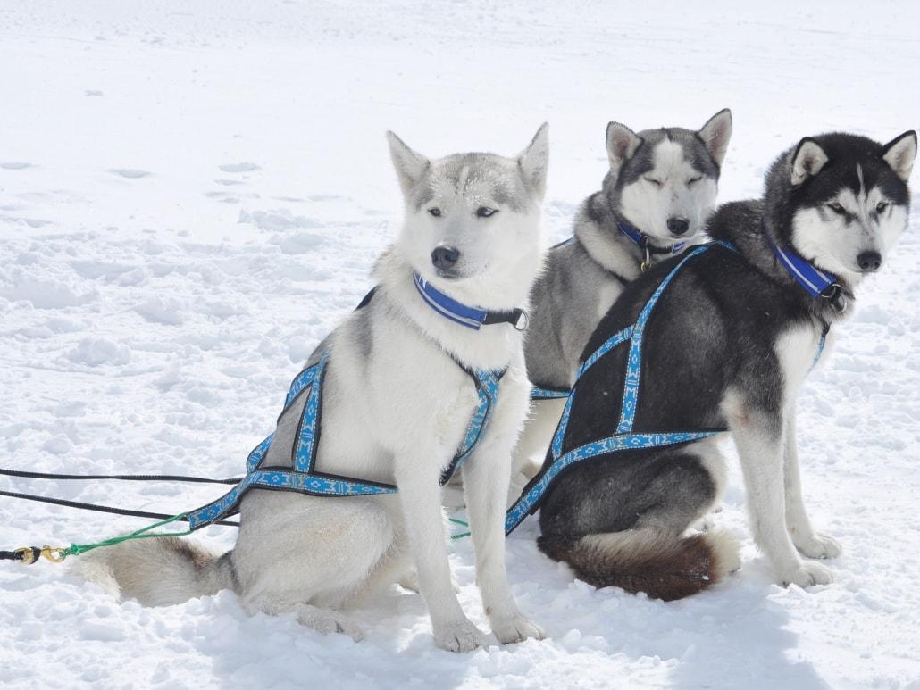 Drei Huskies im Schnee in Zermatt