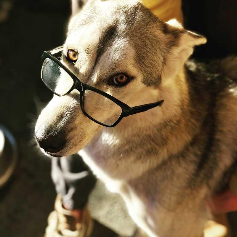 Husky Kyros mit Brille am Matterhorn