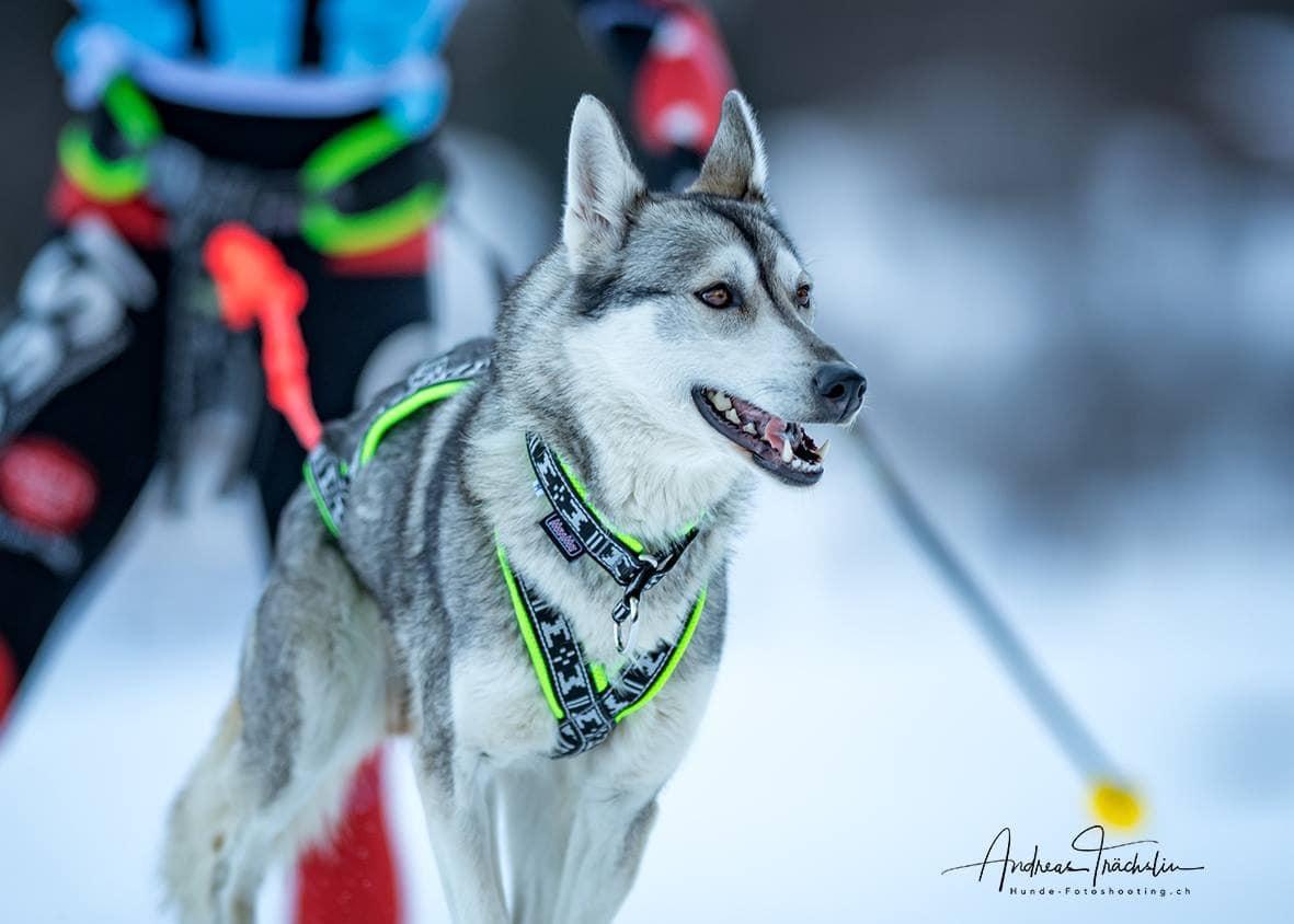 Husky Schlittenhund Jipsi Esprit