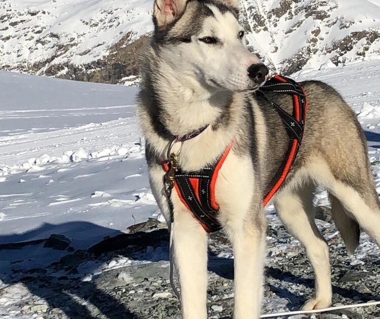 Husky Schlittenhund Onyx