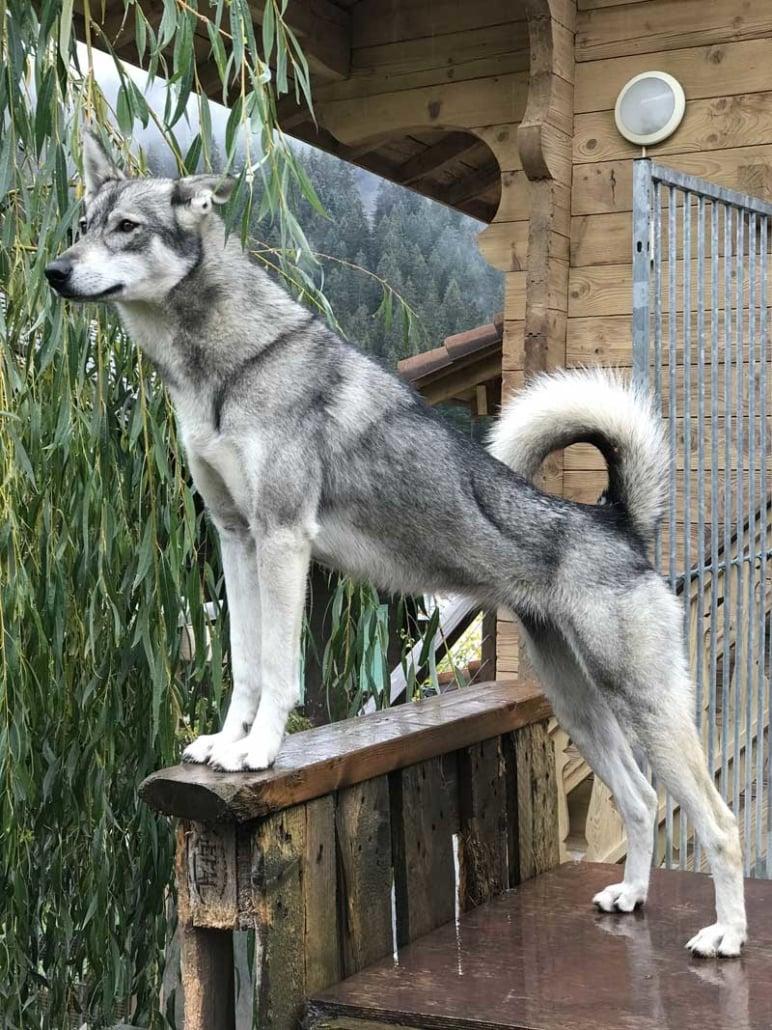 Husky Kali für Schlittenfahrten in Zermatt